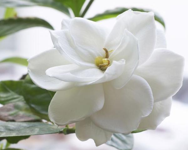 Flores e 5 Elementos Chineses - Metal